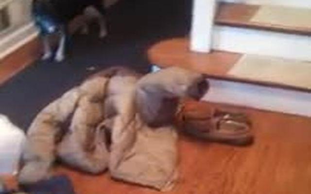 Собака застряла в куртке (996.132 KB)