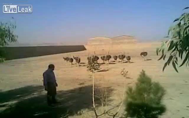 Мужик ловит страуса (1.653 MB)