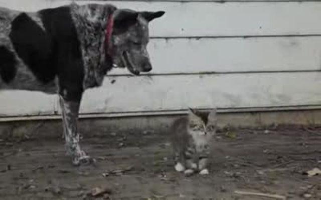 Собака присматривает за больным котенком (8.462 MB)