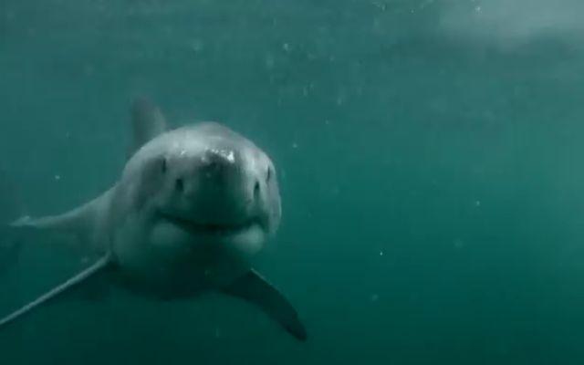 Неожиданная встреча с огромной акулой (6.976 MB)