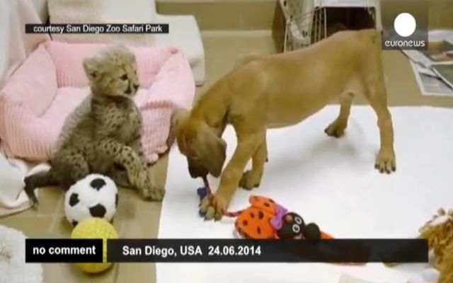 Дружба щенка и маленького гепарда (3.757 MB)