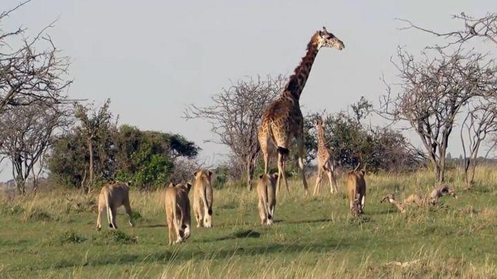 Жираф отгоняет львов от своего детеныша (6.332 MB)