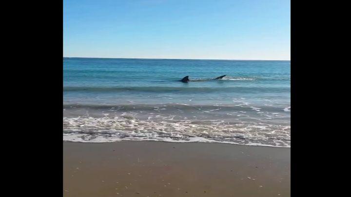 Акула села на мель в Австралии (8.000 MB)
