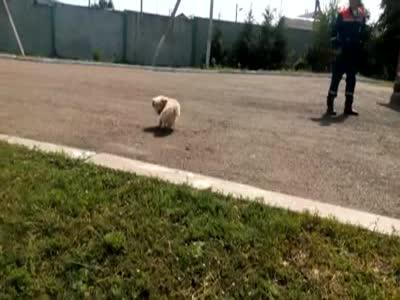 Собака пытается догнать собственный хвост (4.037 MB)