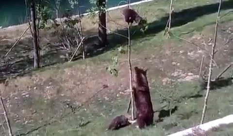 Медведица снимает медвежонка с тонкого дерева (4.638 MB)