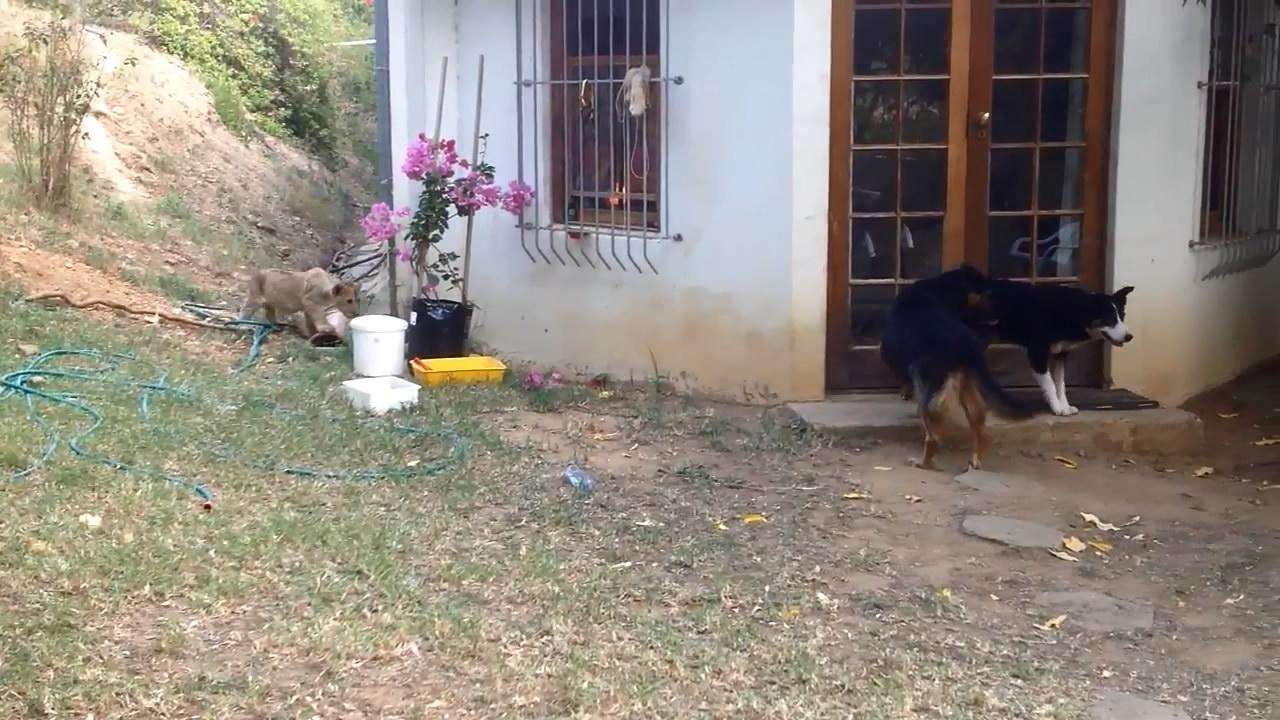 Большой котенок напугал собаку (3.188 MB)