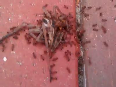 Как муравьи переносят крупную добычу (8.505 MB)