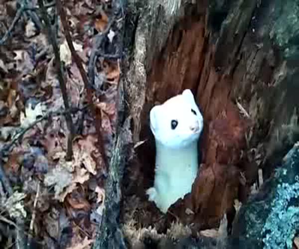 Милый горностай живет в дереве (4.678 MB)