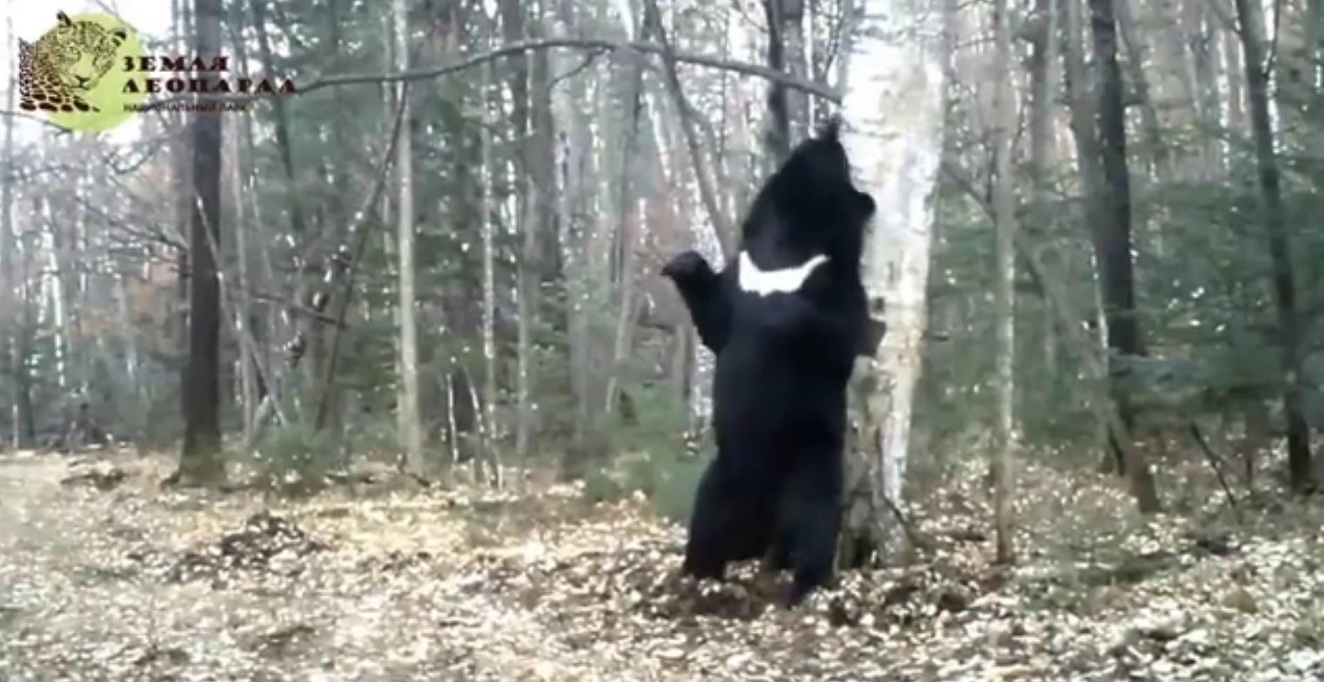 Мишка чешется и танцует перед деревом (9.404 MB)