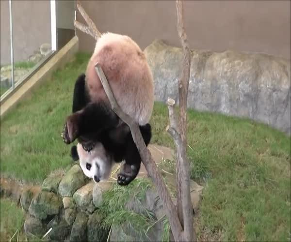 Забавная неуклюжая панда (1.845 MB)