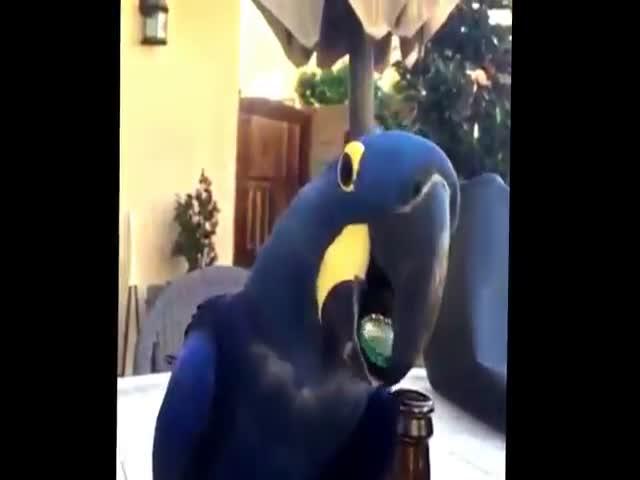Попугай открывает пиво (918.018 KB)