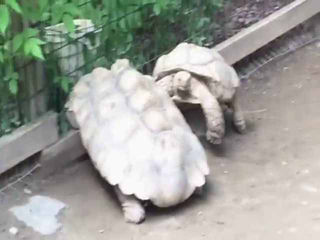 Черепаха спасает сородича (2.452 MB)