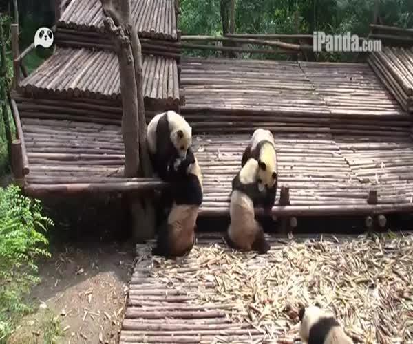 Забавные панды развлекаются (8.285 MB)