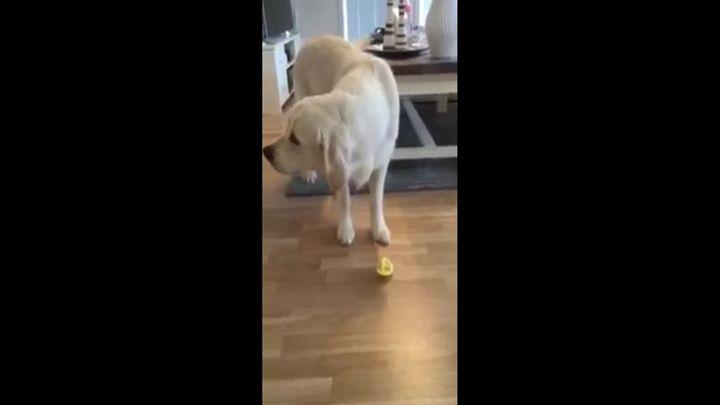 Песик пробует лимон (1.839 MB)