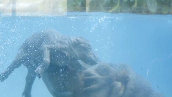 Бегемотик учится плавать (8.115 MB)
