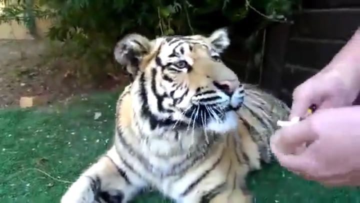 Удаление молочного зуба у тигра (3.881 MB)
