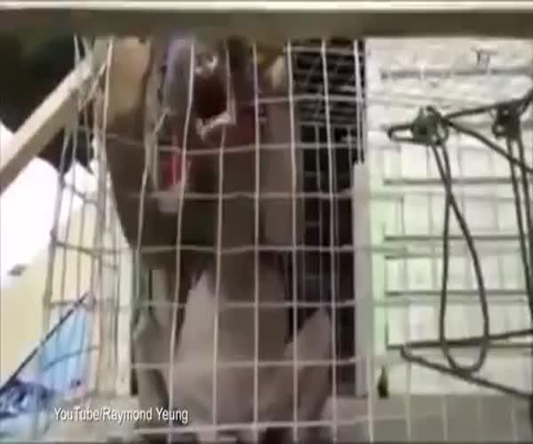 Китайцы поймали неизвестного зверя (2.821 MB)