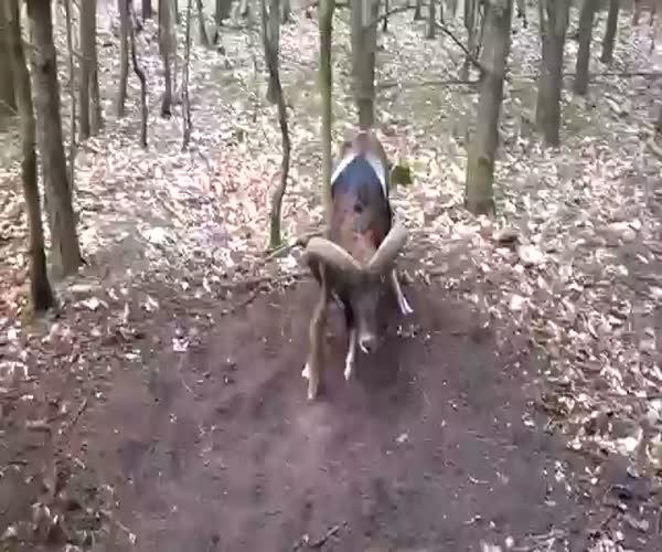 Дикий баран застрял в лесу (13.428 MB)