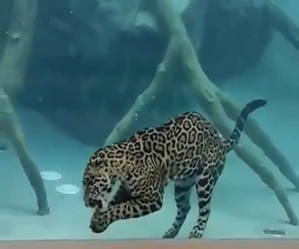 Ягуар купается. Какой-то неправильный кот (7.734 MB)