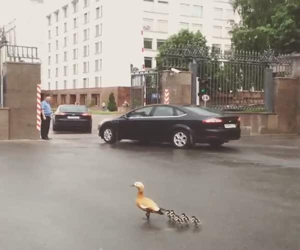 Утка с утятами гуляет в центре Москвы (1.554 MB)