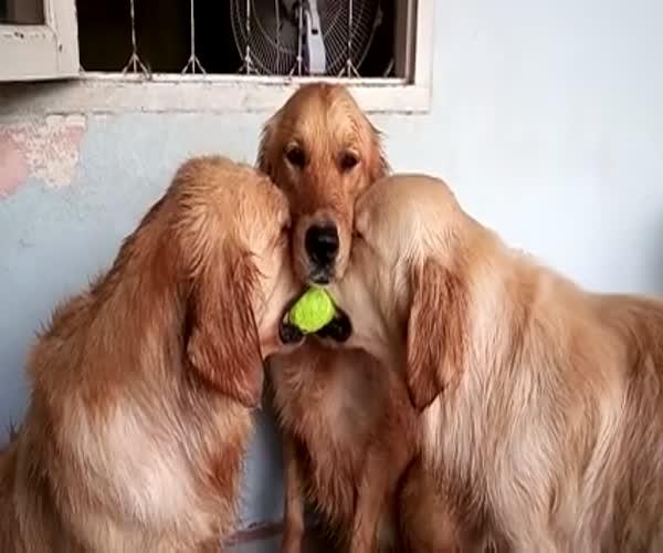 Три собаки делят мячик (614.844 KB)