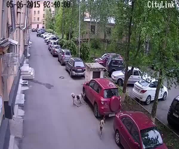 Собака атакует машину (9.695 MB)