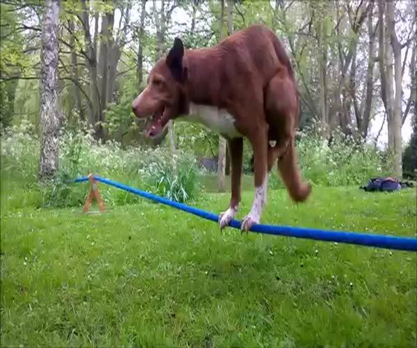 Собака удерживает равновесие на двух лапах (3.351 MB)