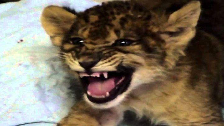 Маленький львенок пытается рычать (6.419 MB)