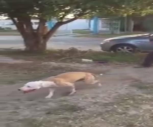 Нереально прыгучая собака (1.442 MB)
