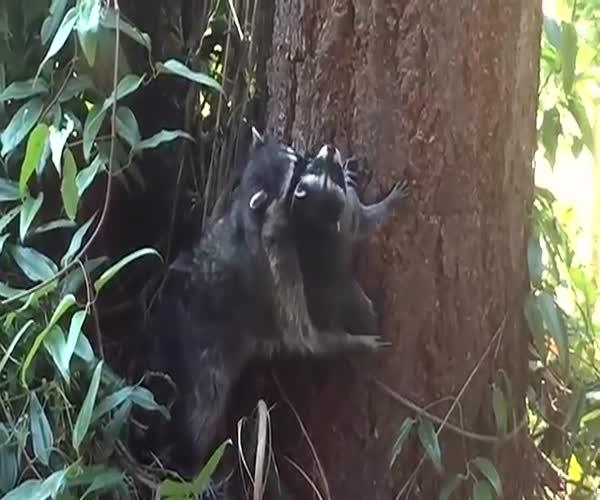 Мама обучает маленького енота карабкаться по дереву (7.653 MB)