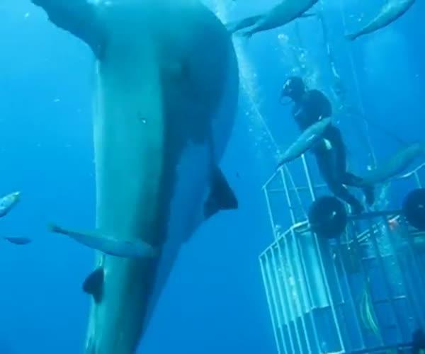 Плаваем с огромной акулой (4.191 MB)