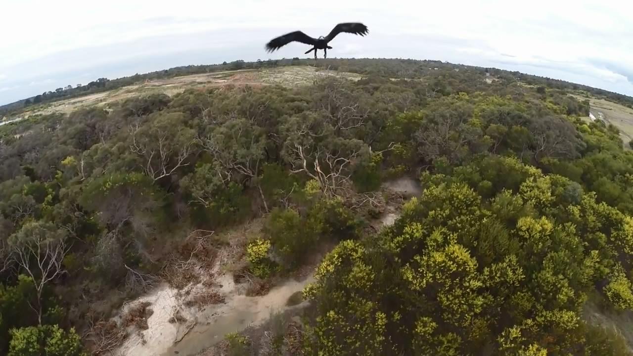 Орел против дрона (2.371 MB)