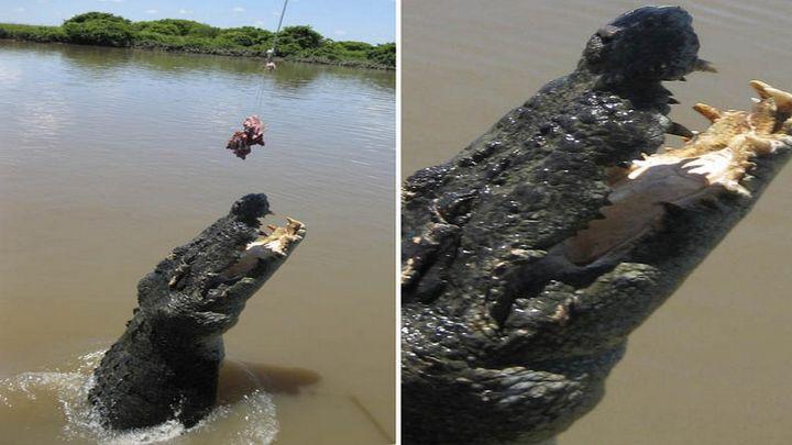 Крокодил пытается схватить мясо (1.005 MB)