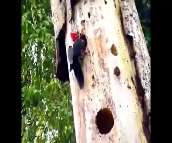 Дятел обнаружил червя-переростка в дереве (12.111 MB)