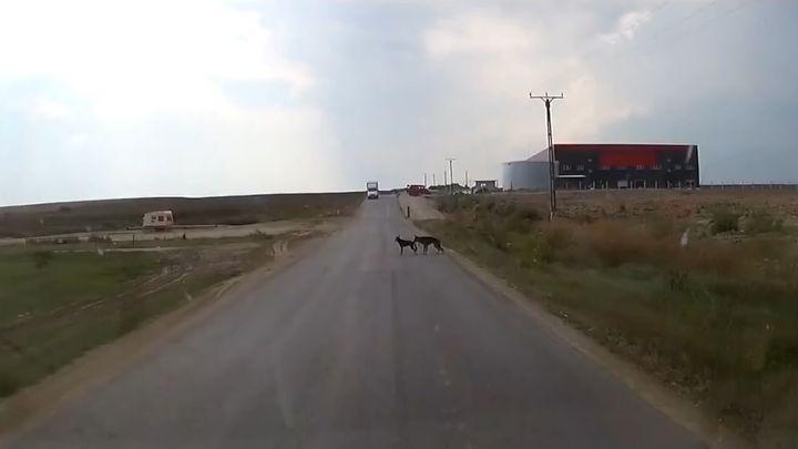 Собака оттащила товарища за хвост от машины (2.921 MB)