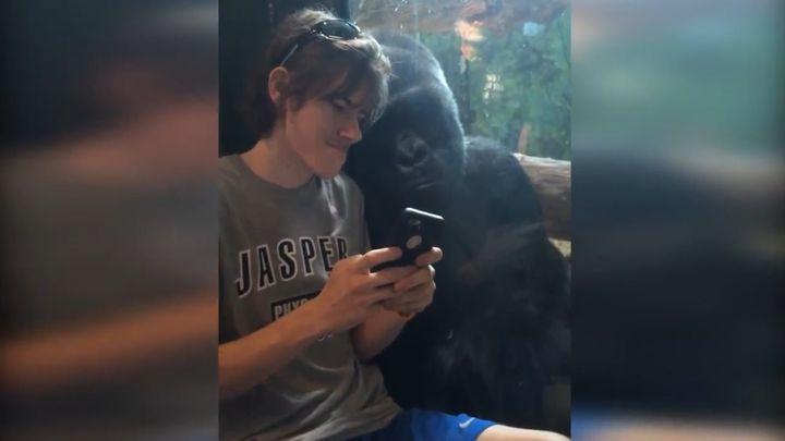 Горилла смотрит фотографии на смартфоне (8.532 MB)