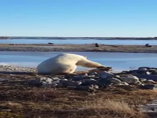 В Канаде белый медведь гладит собаку