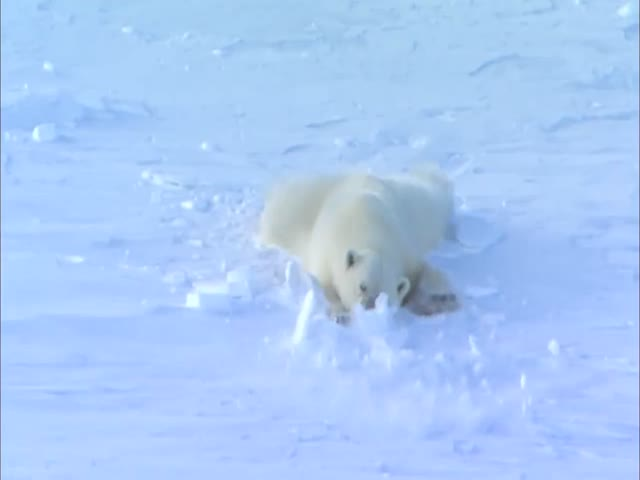 Как флиртуют белые медведи