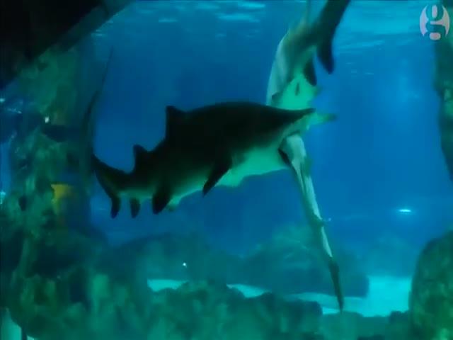 В аквариуме одна акула сожрала вторую (2.226 MB)
