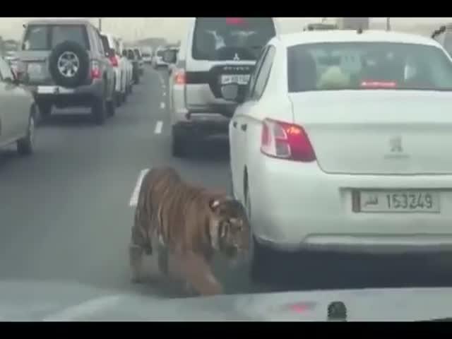 В Катаре тигр сбежал от хозяина (6.009 MB)