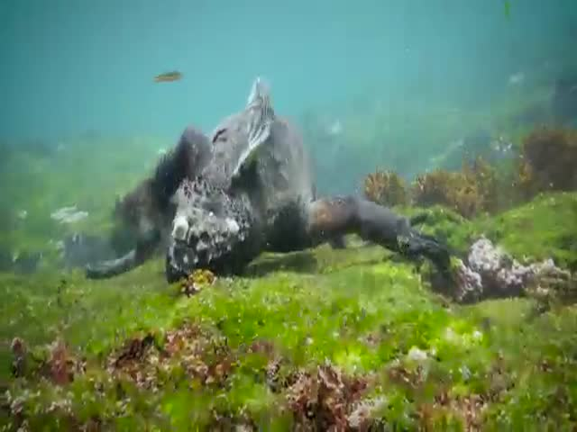 Как питается похожая на дракона морская игуана (8.868 MB)