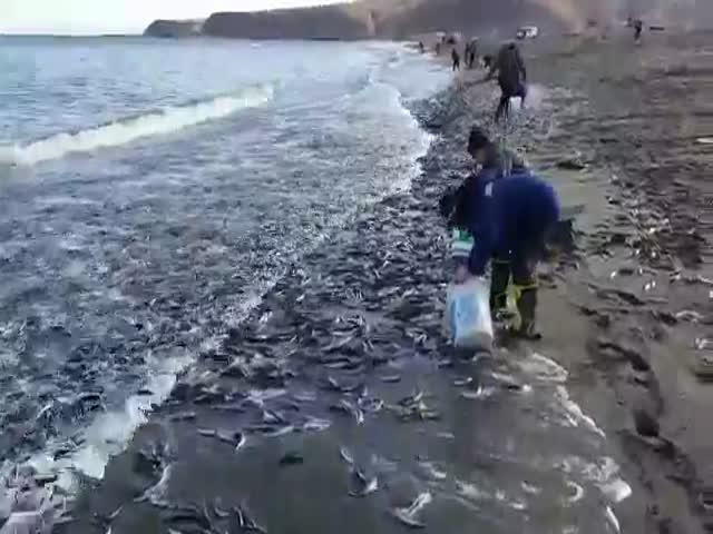 На Сахалине мойва выбрасывается на берег (9.270 MB)