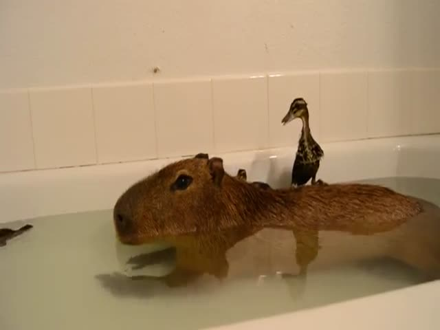 Утята и капибара нежатся в ванной (6.058 MB)