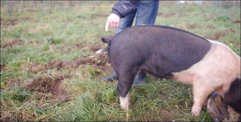 Как распрямить хвост у свиньи (4.203 MB)