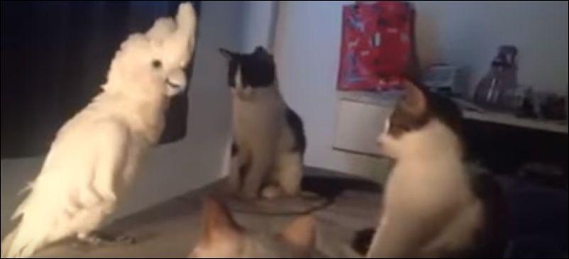Коты в шоке от мяукающего попугая