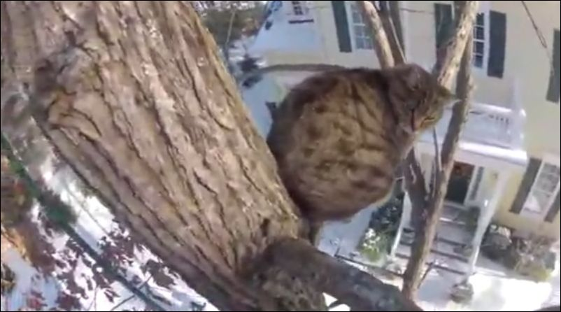 Как кота снимали с дерева