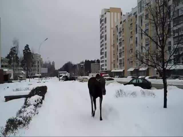 Лось разгуливает по городу Заречный Пензенской области