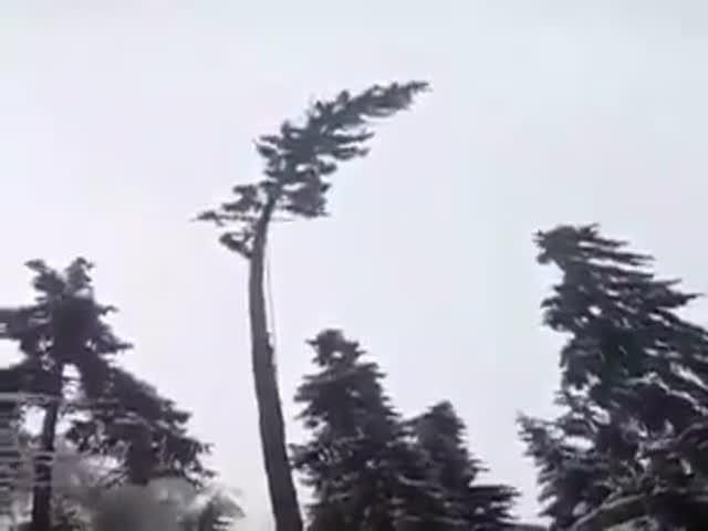 Как не стоит спиливать дерево