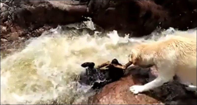 Пес пытается отнять палку и заодно спасает товарища