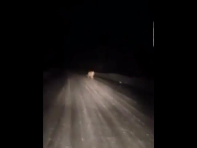 Тигры на дороге в Приморском крае